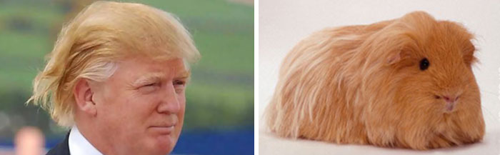 Donald Trump Parecidos Razonables Conejillo