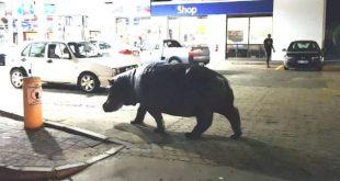 Hipopotamo en gasolinera