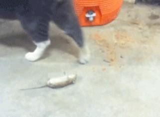 Gato haciéndose el muerto ante un gato